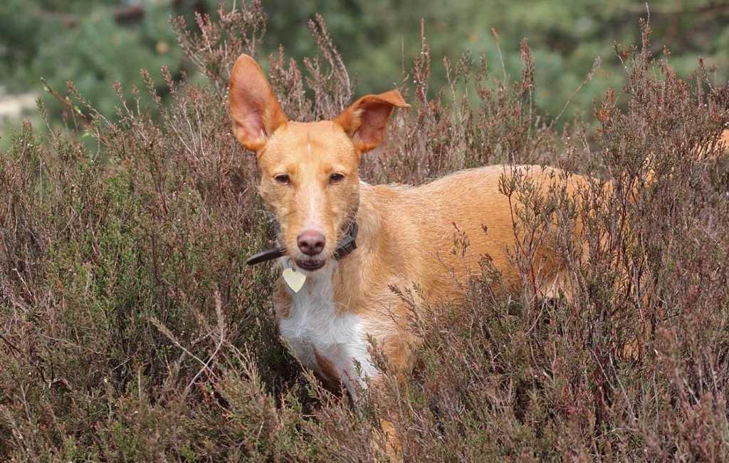 Overzicht van de week in het teken van de jachthond in Spanje