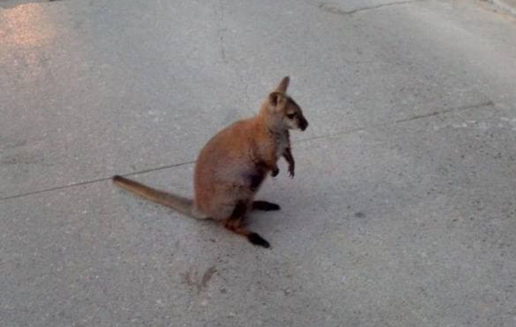 Kleine loslopende kangoeroe gespot in Catalaanse dorp