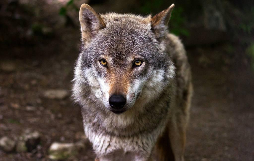 Spanje ktijgt een landelijk jachtverbod op de Iberisch wolf