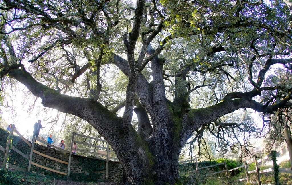 Duizendjarige steeneik in Lecina-Bárcabo (Huesca) boom van het jaar in Europa