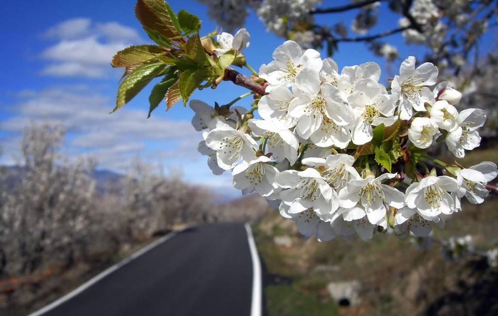 Het is weer die tijd van het jaar: de spectaculaire kersenbloesem in de Valle del Jerte