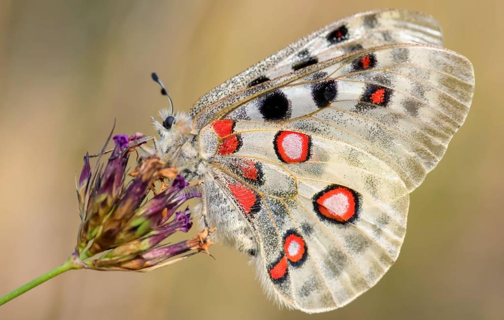 Onderzoek naar vlinders in de Spaanse Pyreneeën als bio-indicatoren van klimaatverandering