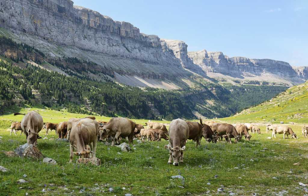 Nationaal Park Ordesa bekijkt oplossingen na aanvallen koeien op toeristen