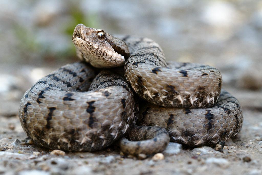 16 juli is Internationale Dag van de Slang: hoeveel giftige en niet giftige slangen heeft Spanje?