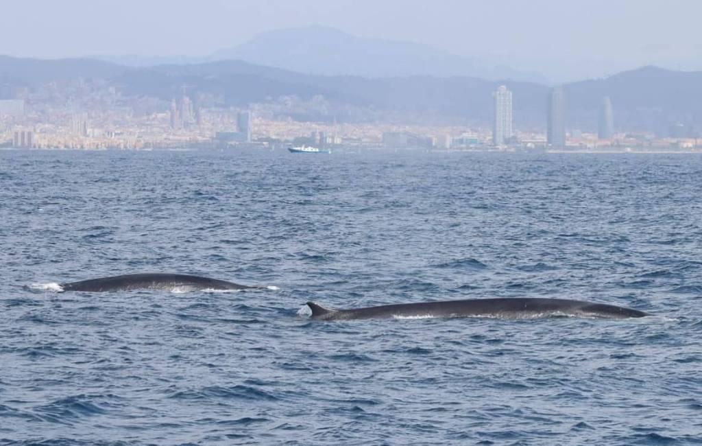 Deze lente 222 walvissen voor de Catalaanse kust gespot