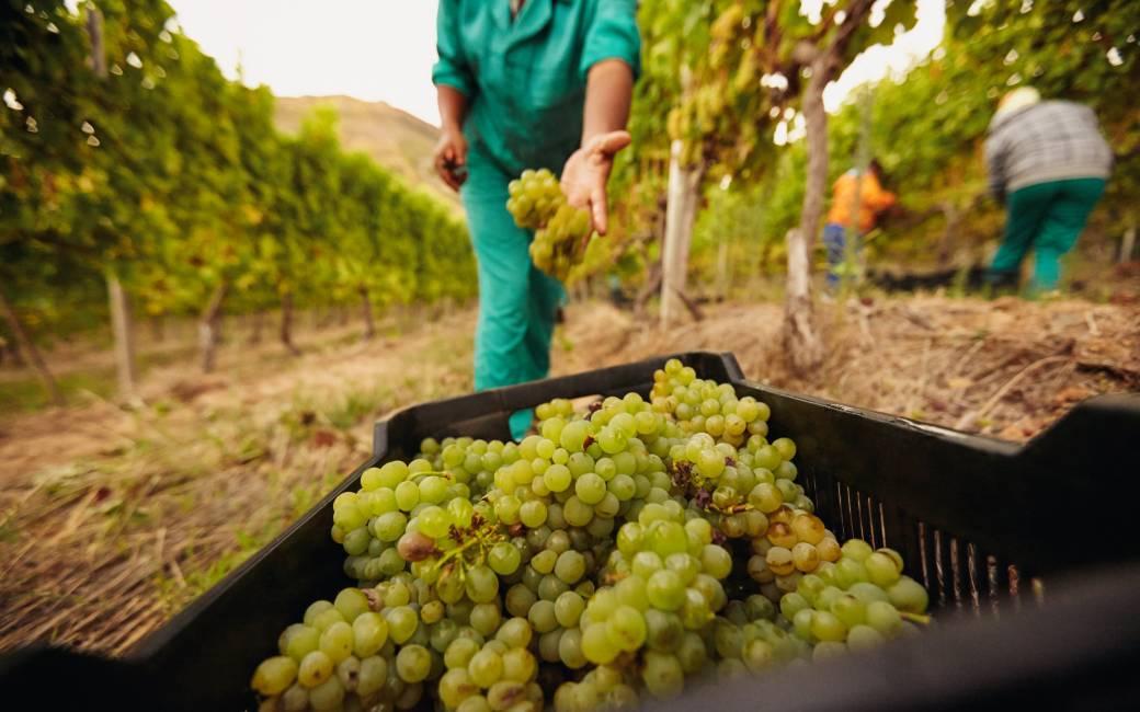 Druivenoogst voor wijnen uit het zuiden en midden van Spanje begonnen