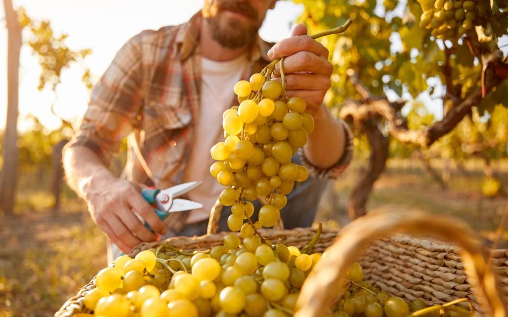 14.500 Spaanse druivenplukkers naar Frankrijk vertrokken