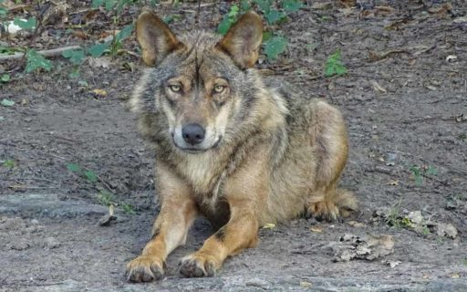 Er mogen in Cantabrië 34 wolven gedood worden tot juli 2022