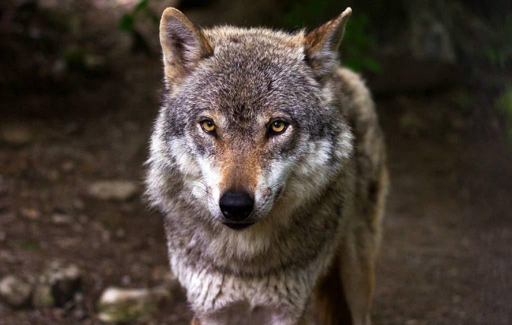 Voor 25 september komt er een jachtverbod op de Iberische wolf in Spanje
