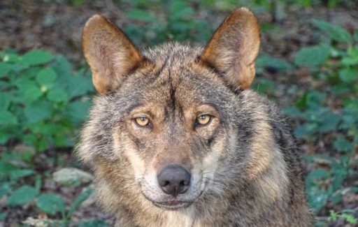 Jagen op wolven is vanaf nu in Spanje per wet verboden