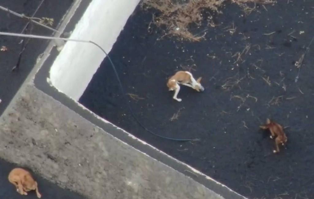 Honden omringt door lava overleven door eten via drones La Palma