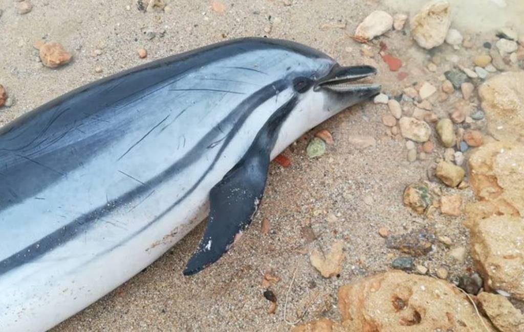 Dode dolfijn op strand Torrevieja gevonden