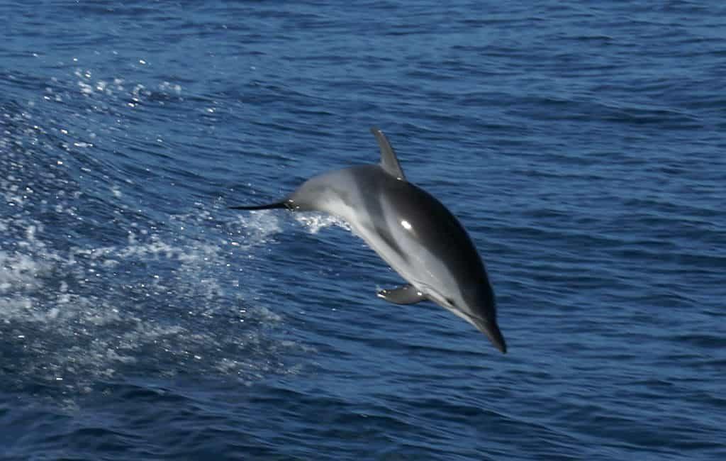 Ook in winter dolfijnen gezien in zee bij Ibiza