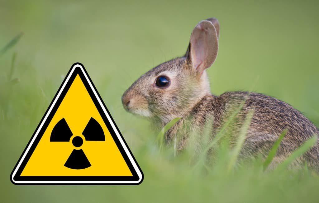 Spanje moet zoeken naar radioactieve konijnen in Almería