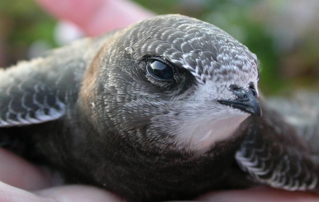 Jonge gierzwaluwen vallen om hitte uit nesten in Spanje