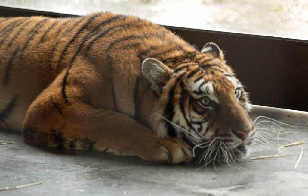 Verwaarloosde tijgers vanuit Polen naar AAP Primadomus in Alicante