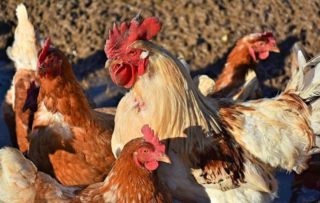 Hanen moeten weg vanwege toeristen in Asturië