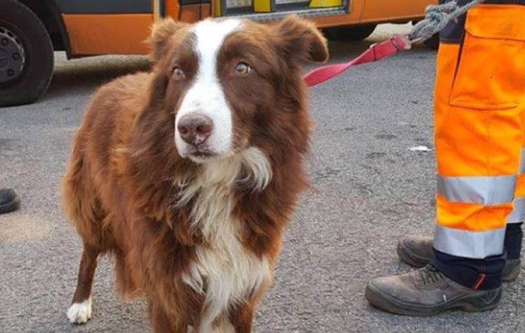 Hond achtervolgt kudde schapen op weg naar slachthuis in Gerona