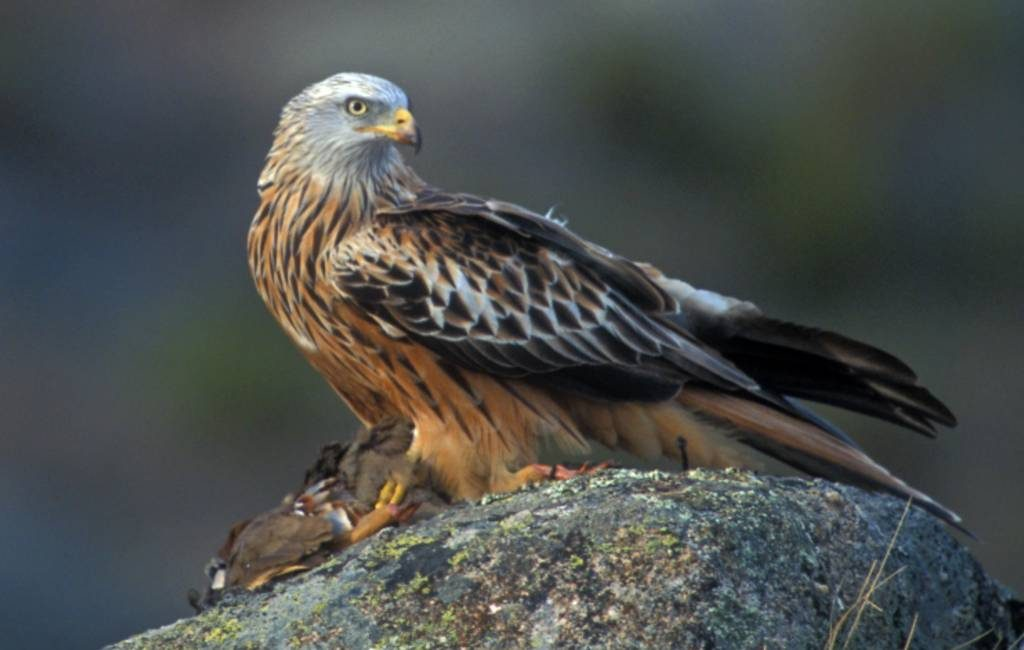 Bijna drie jaar celstraf voor vergiftigen roofvogels in Spanje