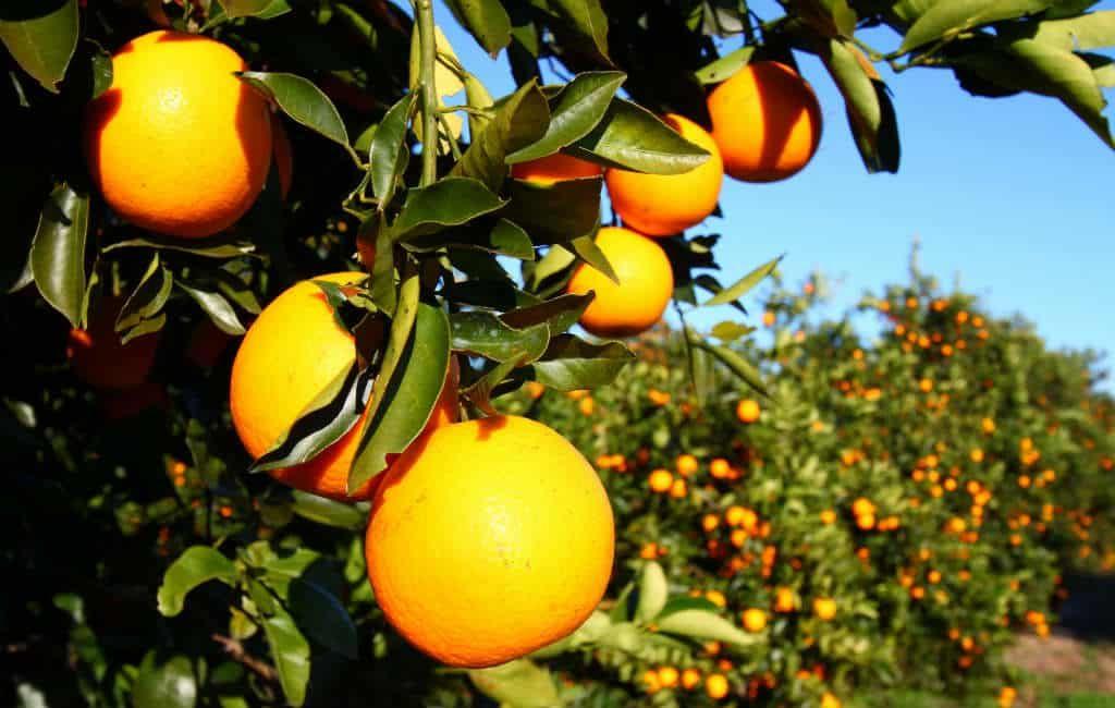 Meer dan de helft van de sinaasappelen in de EU komt uit Spanje