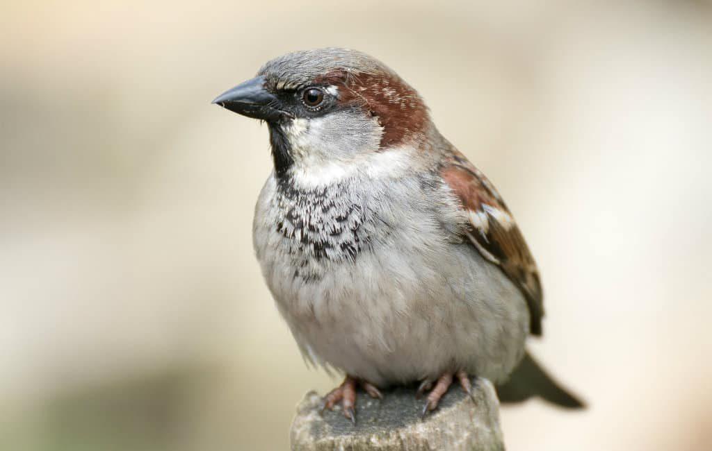 Aantal vogels waaronder de huismussen wordt steeds minder in Spanje