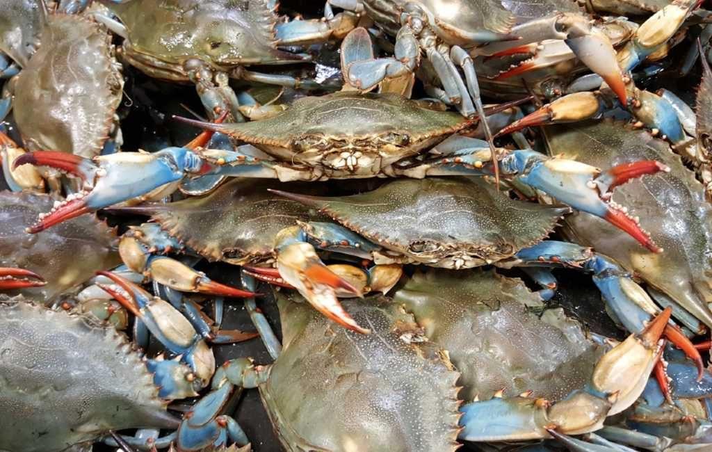 Explosieve groei blauwe krabben Spaanse kust
