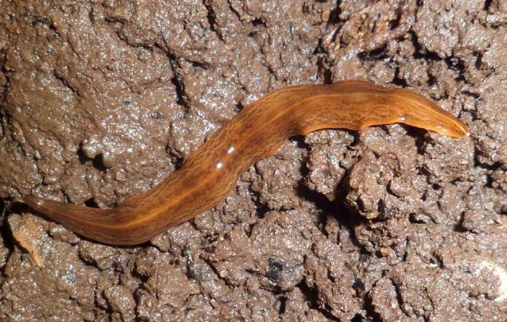 Grote vleesetende wormen gevonden in Valencia