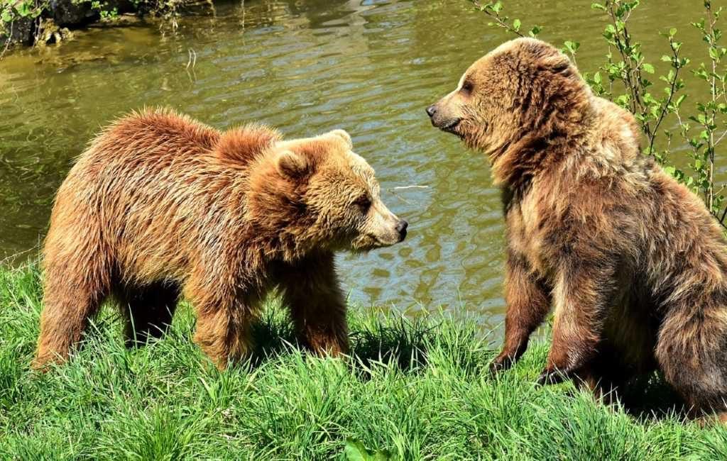 Beren ontwaken uit winterslaap/rust in Spanje
