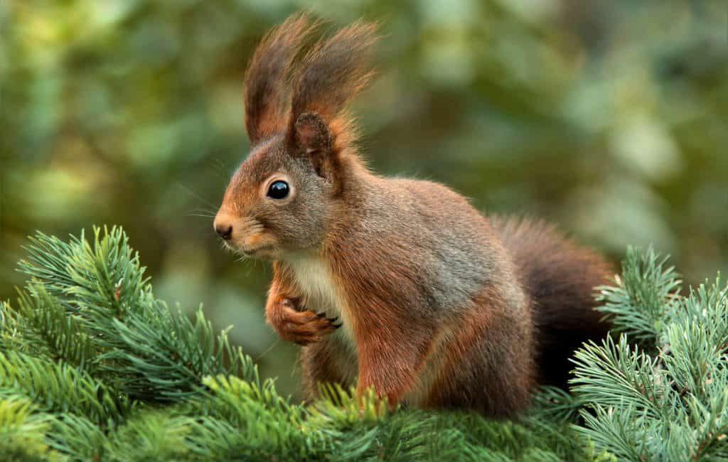 Nieuw plan om de eekhoorns terug te krijgen in Retiro park Madrid