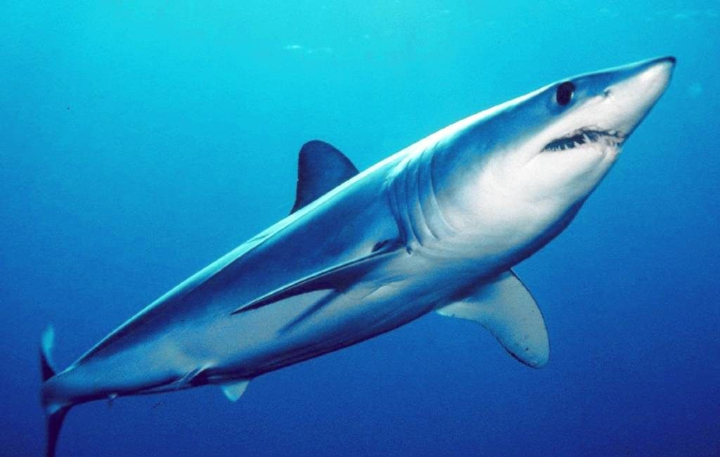 Haai valt vangst vissers aan bij Mallorca