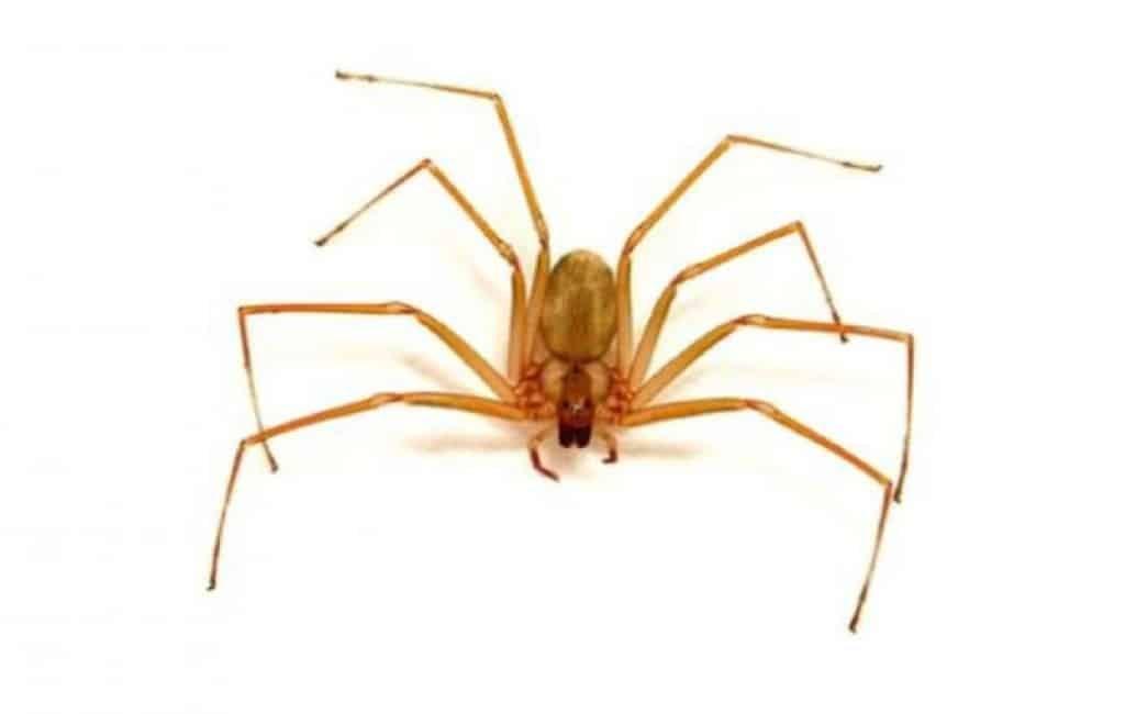 Paniek in Alicante na gewonden na beet giftige spin