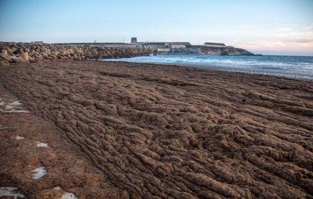 Stranden in de provincie Cádiz worden opnieuw overspoeld door Aziatische algen