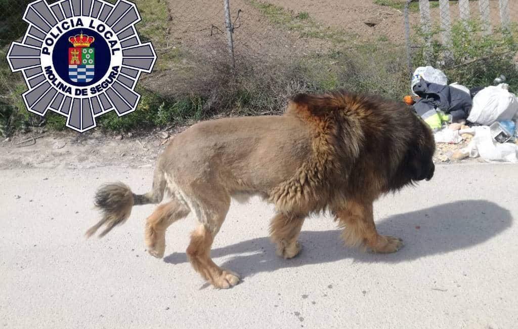 Loslopende leeuw in Murcia gezien … of toch niet!