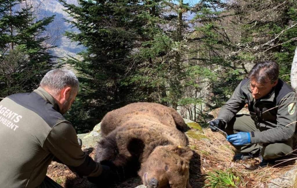 Boswachter aangehouden voor dood van bruine beer in Catalonië