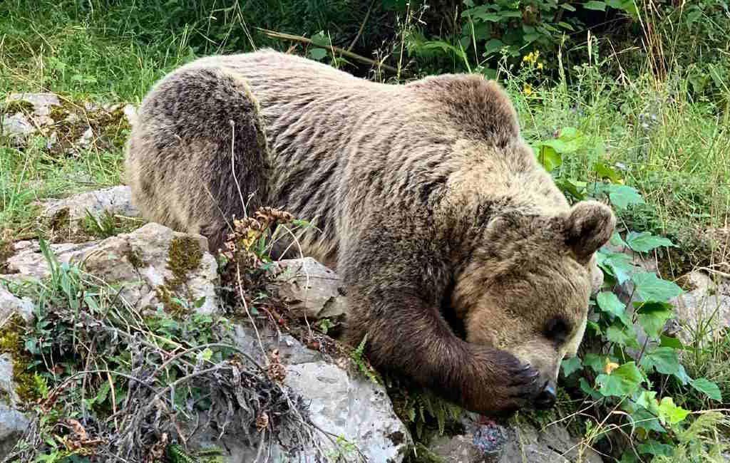 Bruine Beer die vrouw verwondde viel niet aan maar reageerde tijdens zijn vlucht in Asturië