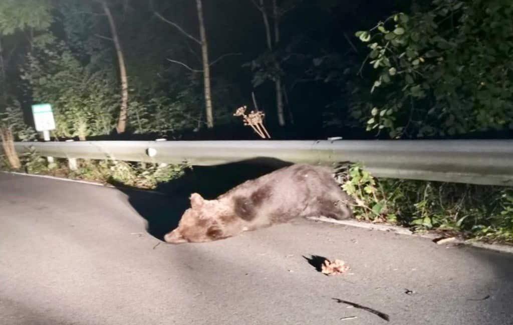 Politie helpt bij reddingspoging aangereden beer in Asturië