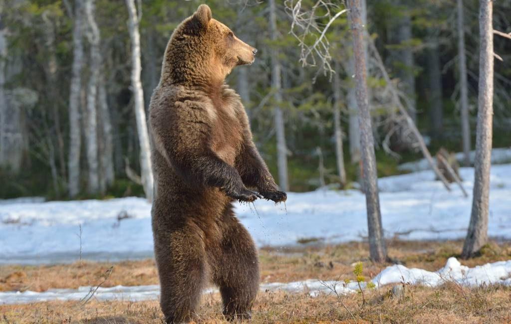 Bruine beer valt voor de eerste keer sinds lange tijd een mens aan in Asturië