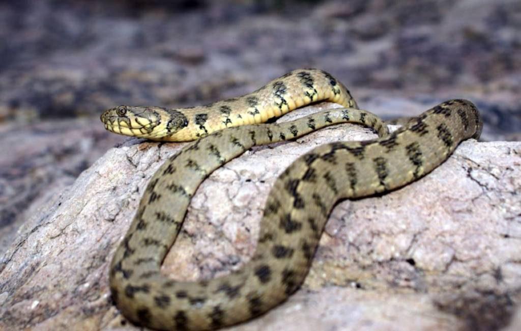Slangen ontwaken uit winterslaap op Ibiza en Formentera