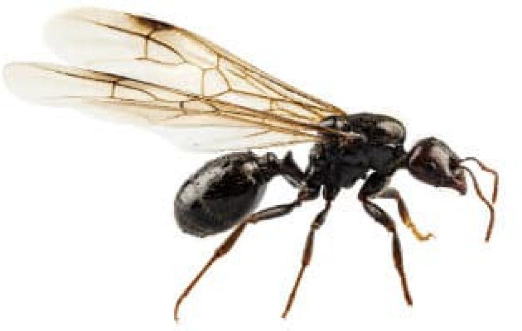 Regen veroorzaakt meer vliegende mieren dan normaal in Spanje