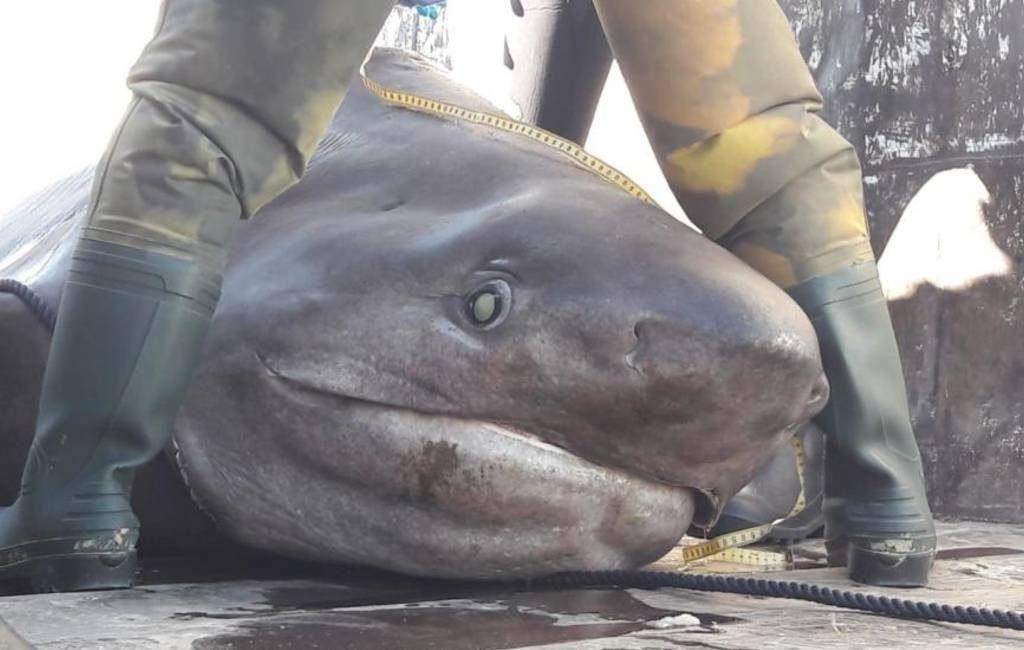 Vier meter lange haai uit het water gehaald bij Mallorca