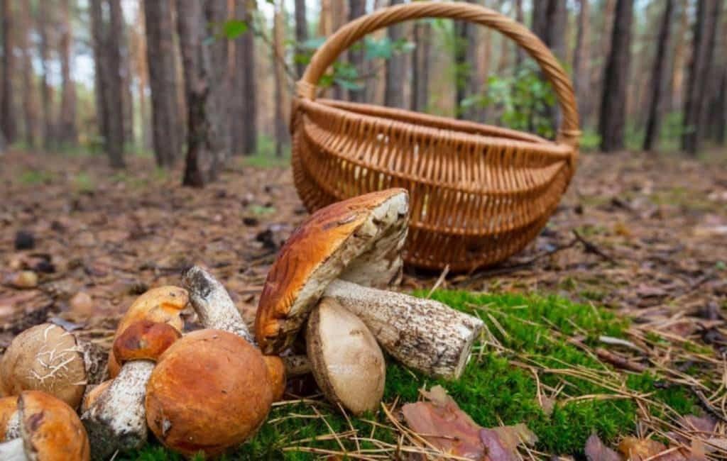 De herfst is in Spanje de tijd van het paddenstoelen zoeken