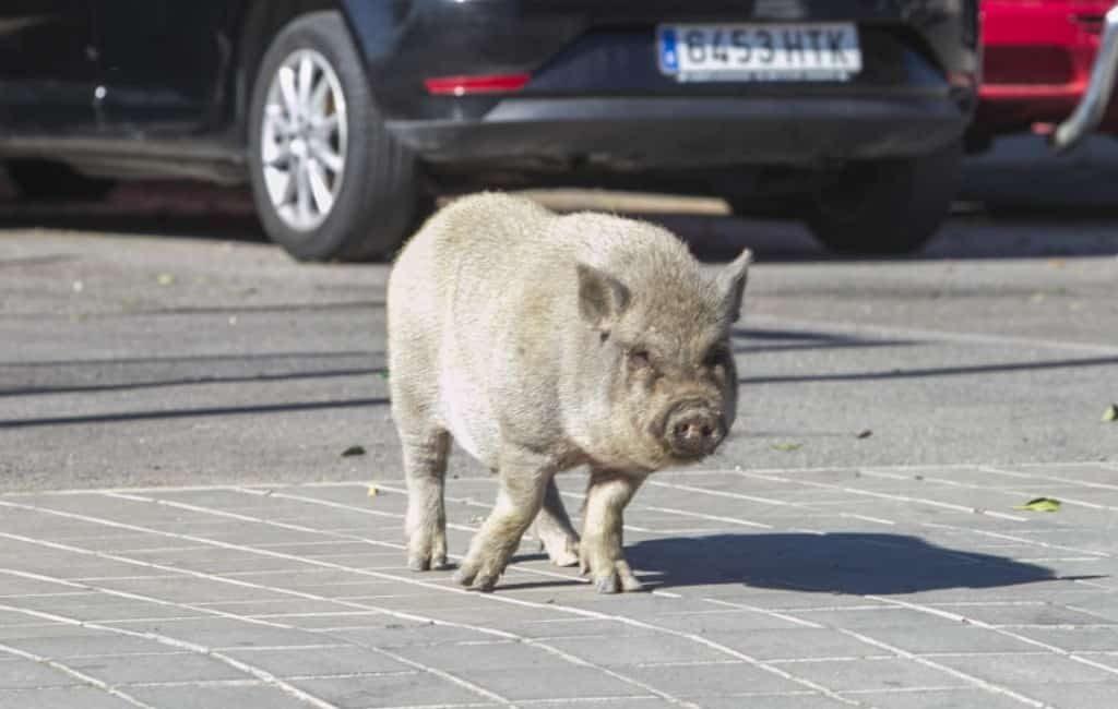 Gemeente Alicante wil pijl en boog gebruiken tegen hangbuikzwijnen