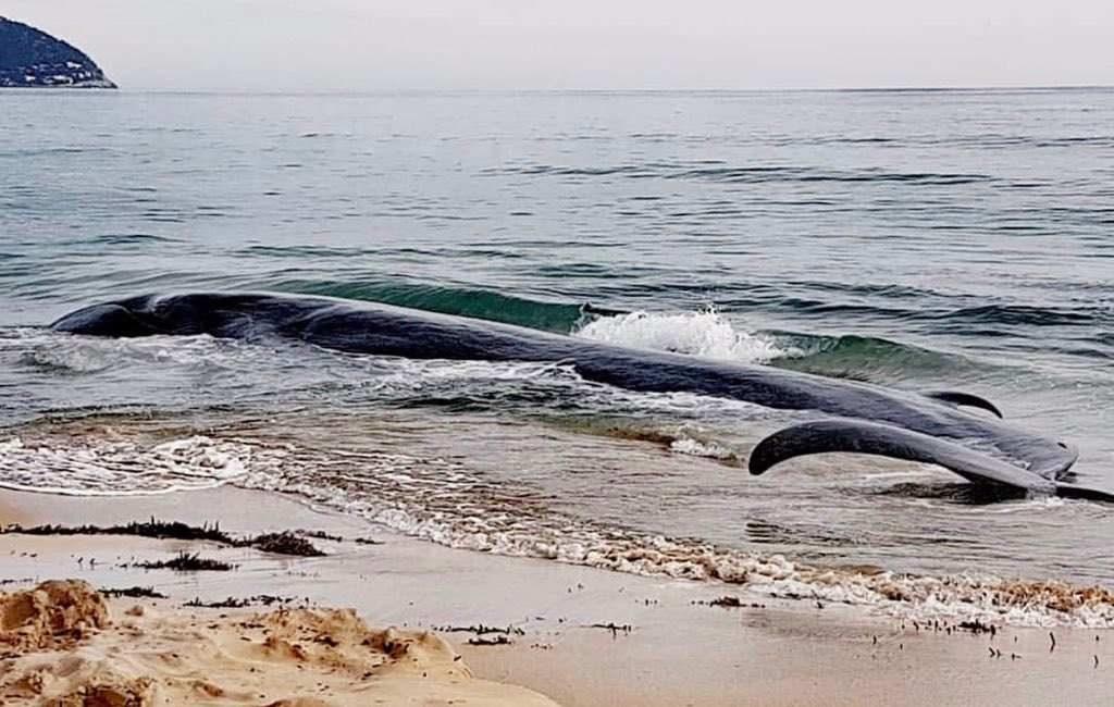 Walvis overlijdt op een strand op Mallorca