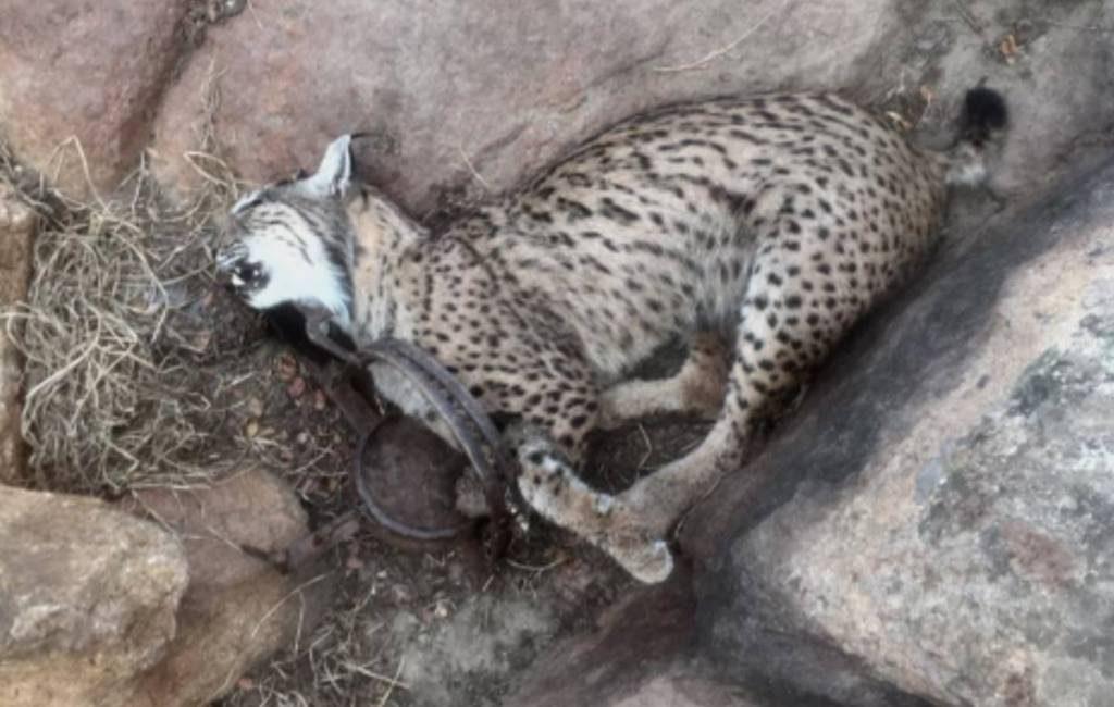 Stropers doden vier lynxen in Castilla-La Mancha