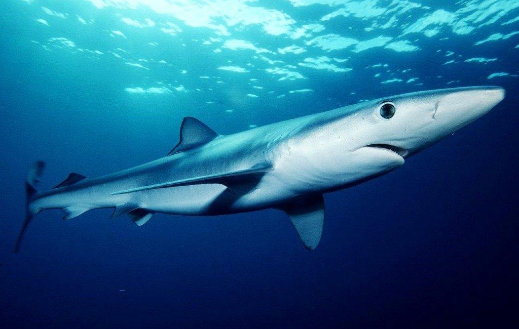 Blauwe haaien voor de kust van Galicië: geen gevaar, wel opletten!