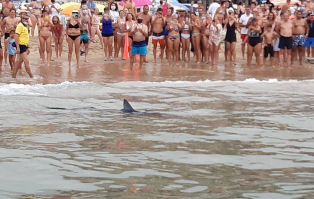 Twee meter lange blauwe haai bij het strand van Benidorm trekt veel bekijks