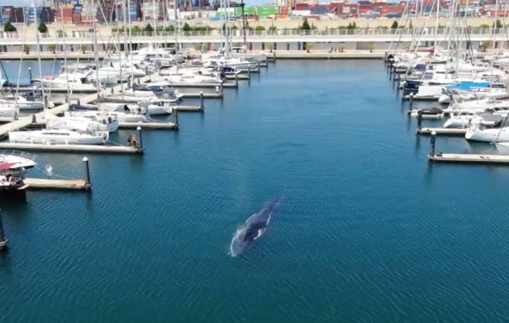 Walvis zwemt de jachthaven van Valencia binnen (video's)