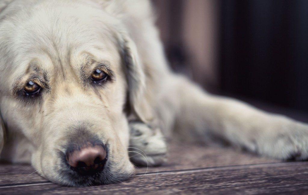 Veel honden in Spanje hebben separatie- of verlatingsangst vanwege lockdowns