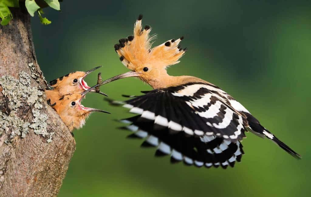 De graag geziene hop of upupa epops vogel in Spanje