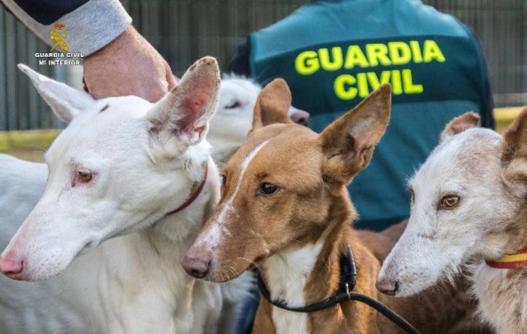 Politie ontmantelt organisatie vanwege diefstal en verkoop jachthonden in Valencia